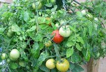Groenten kweken in potten