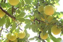 Árboles frutales/Fruit trees