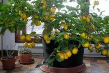 albero limone in casa