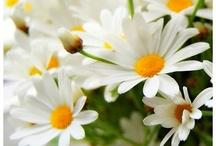 {pushing daisies}