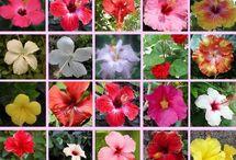 Hibiscus rosa sinensis / Ibišky ktoré chcem, alebo sa mi iba páčia.