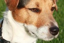 Terriers De Jack Russell