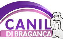 Filhotes de Shih Tzu Canil di Bragança / Canil di Bragança é especializado na criação da raça Shih Tzu