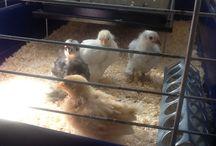 Kippen / Kippen in de moestuin