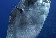 Holdhal Lunafish