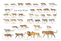 Wild Cat Posters / These stunning wild cat posters are great for learning (and admiring!) all the beautiful wild cat species in the family Felidae. The images are copyright the artists.
