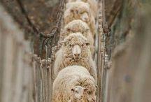 А овечек посчитать?!