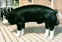 swine  / by matthew gutierrez
