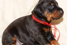 Satılık Doberman Yavruları / satılık Yavru Doberman köpeği fiyatları satılık doberman , yavru doberman , satılık doberman, king doberman için 05435865500