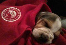 Boki the Beagle