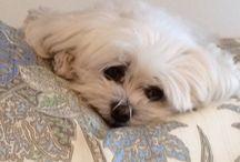 Maltese / Dog