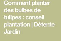 Planter bulbes