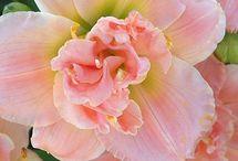 Blumenbilder Taglilien | Hemerocallis / Blühende Taglilien im Garten. Blumenbilder auf Leinwand, Kunstdruck, Fine-Art-Print oder Fototapete.