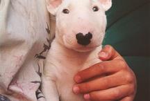 Bull terrier / Toute les races de Bull terrier ❤️