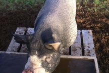 Berkshire Hogs
