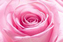 Roses in macro