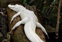 crocs&aligators