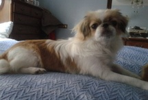japanese chin dogs / the cutest adoptable japanese chin dogs ever
