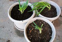 plantar em casa ( alhos )