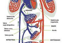 Sistemas del cuerpo humano /  Explicacion de los diferentes sistemas del cuerpo humano.