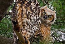 Anatomia sów / Owl's anatomy
