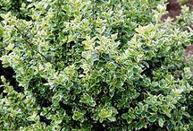 Petits arbustes persistants