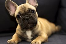 My future French bulldog