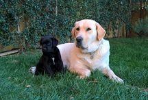Labrador retriever / Cuccioli