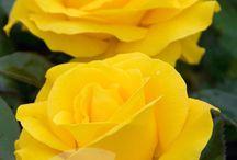 sarılar