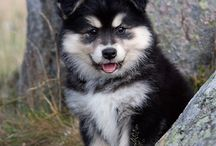 My future dog- finnish lapphund