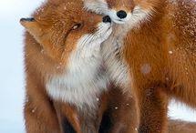 Renards/Fox