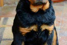 Rottweiler *-*