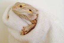 Agáma, bearded dragon