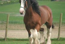 Clydesdale / by Shannon Martin