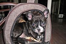 French Bulldog Coco