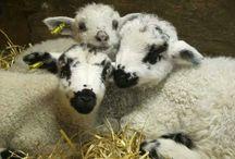 Sheep(ish)