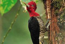 pássaros Brasileiros