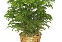 Things Araucariaceae, the Auracaria family