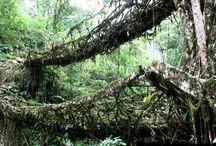 Tree bridges of Meghalaya, India