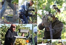 Vine to Wine / Ever wonder what goes into that tasty bottle of St. Francis Wine? From Bud break to barrel to bottle we'll show you the labor of love that goes into every bottle of St. Francis Wine.  / by St. Francis Winery