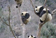 Panda / by Anna Jenney