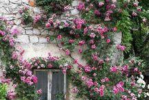 Rose rampicanti - Roses