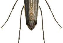 ripiphoridae