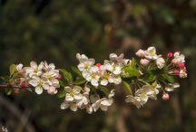 Apfelblüte / Frühling 2016