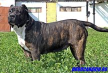 Presa Canario Dogo Canario / FIRST AND BEST PRESA CANARIO BREEDER IN ROMANIA WE HAVE DOGS FROM THE BEST BLOODLINES FROM ROMANIA AND CANARY ISLANDS, WE BREED AND GENETIC SELECT THEM