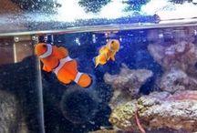 Aquarium / Notre bac récifal de 90L