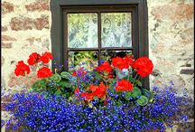 Garden ideas -geraniums&lobelia pot