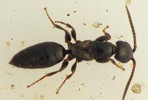 Bethylidae