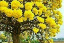 Ypê amarelo