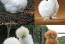 Chickens of special breeds / by Marilyn Marseilles